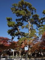照源寺の夫婦松・写真