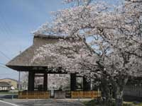 新宮神社の桜・写真