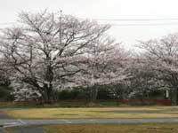 にごり池自然公園の桜・写真