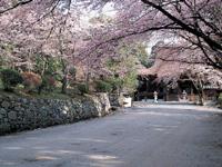 三井寺の桜・写真