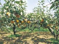 果樹の森 よこせ梨園・写真