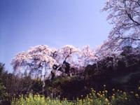 地蔵禅院のシダレザクラ・写真