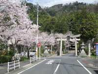 板列公園の桜・写真