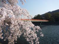 宇治川ラインの桜・写真