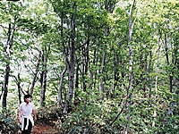 内山山系ブナ林・写真