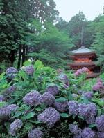 岩船寺のアジサイ・写真