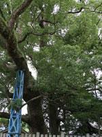岡中の大樟・写真