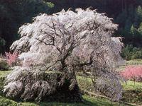 本郷の滝桜(又兵衛桜)・写真