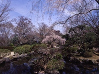 竹林院の桜・写真