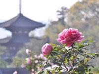 當麻寺奥院のボタン・写真