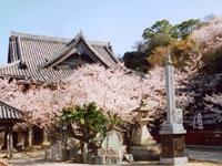 紀三井寺のサクラ・写真