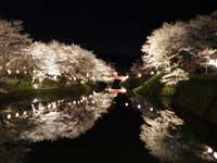 鹿野城跡公園の桜・写真