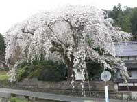 長瀬の大しだれ桜・写真