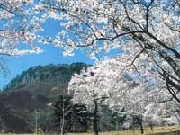 船上山万本桜公園の桜・写真