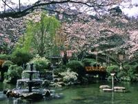 打吹公園の桜・写真