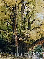 菩提寺の大イチョウ・写真