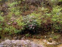 三室峡のシャクナゲ・写真