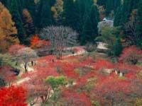 岡山県立森林公園のマルバマンサク・写真