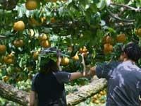 世羅大豊農園・写真