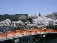 上野公園の桜・写真