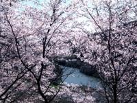 今富ダム公園の桜・写真