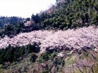 五条の千本桜・写真