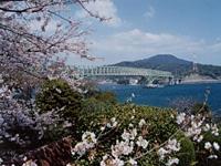 瀬戸公園の桜・写真