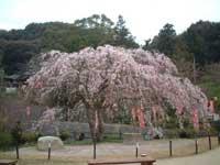 般若寺山の桜・写真