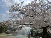 吉香公園のサクラ・写真