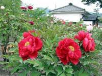 吉香牡丹園・写真
