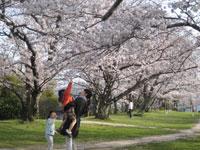 岡の上公園のサクラ・写真