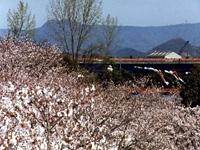滝宮公園の桜・写真