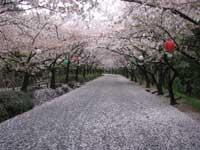 公渕森林公園のサクラ・写真