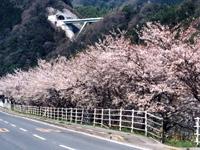 桜三里のサクラ・写真