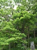 仁井田のヒロハチシャノキ・写真