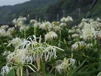 松崎地区のハマユウ・写真