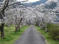 家地川公園のサクラ・写真
