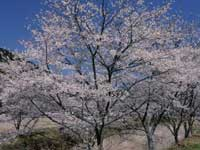 大坂の桜並木・写真