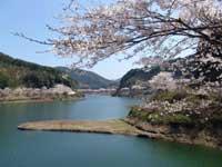 日向神の千本桜・写真