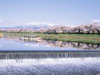 白石川堤一目千本桜・写真