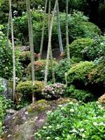 定林寺のアジサイ・写真