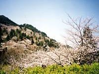 油山市民の森の桜・写真