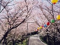 大将陣公園の桜・写真