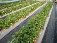 「あまおう」の苺狩り農園ホワイトベリー・写真