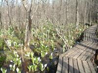 水芭蕉の森・写真