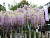 日吉神社のフジ・写真