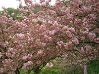 えぼし公園の桜