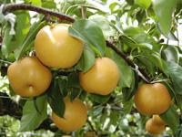 梨狩り産直の佐々木農園・写真