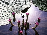 岩渕大池のオニバス・写真