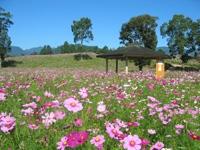 法華嶽公園のコスモス・写真